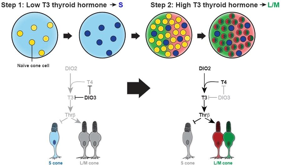 hormones thyroide cones