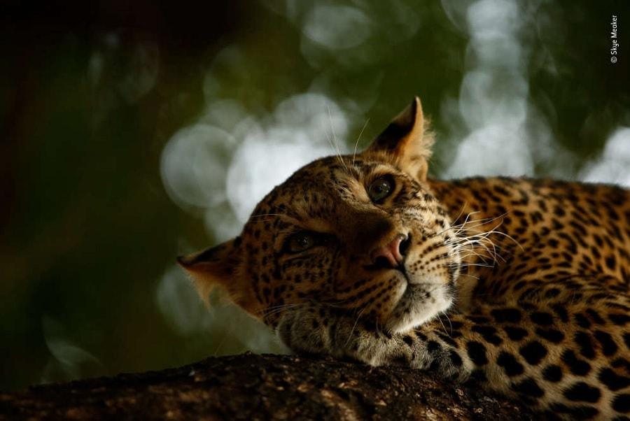 leopard mathoja