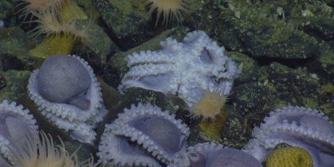 pieuvre amas poulpe couvee couvaison eau profonde decouverte nautilus hercules