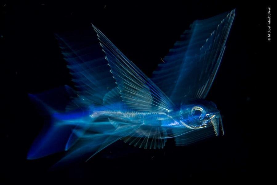 poisson volant eau