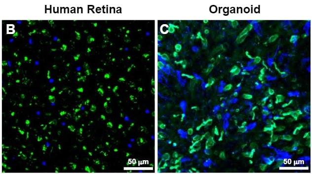 retine humain organoide laboratoire