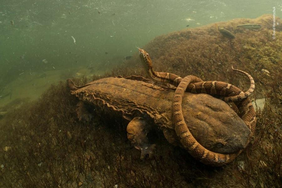 serpent salamandre menopome