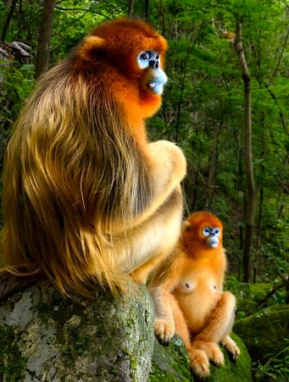singes rhinopitheques concours wildlife