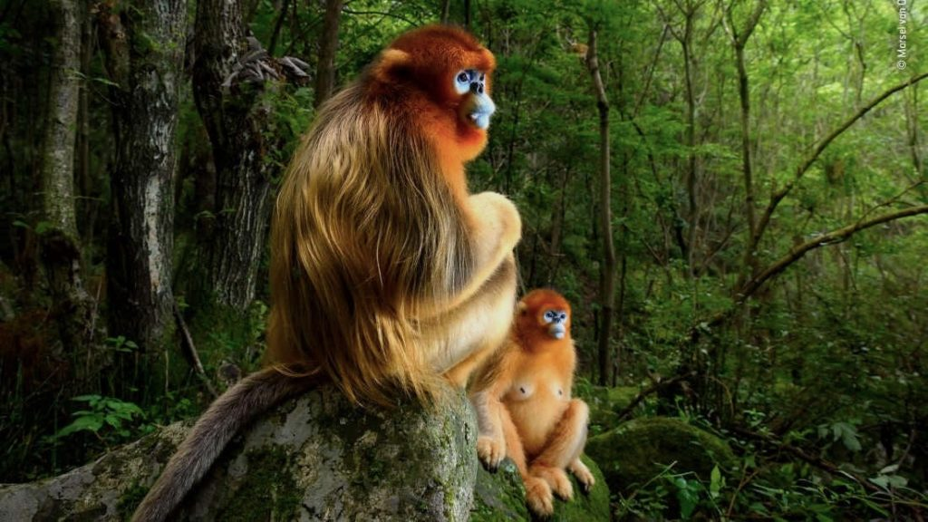 singes rhinopitheques