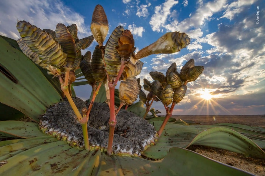 welwitschia mirabilis desert