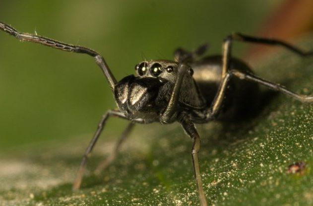 araignées toxeus magnus allaitement