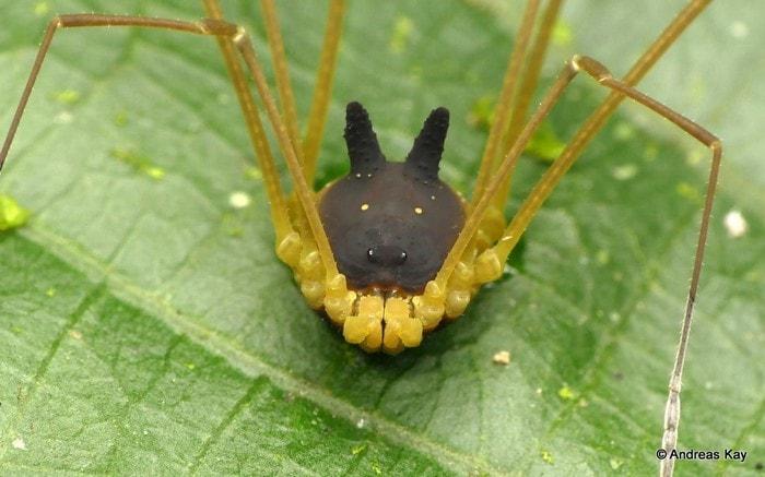 arachnide tete lapin noire particulier faucheur araignee