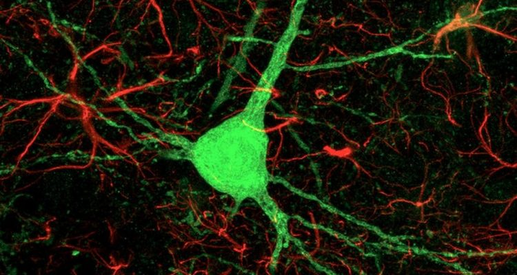 cellules astrocytes neurones reprogrammees