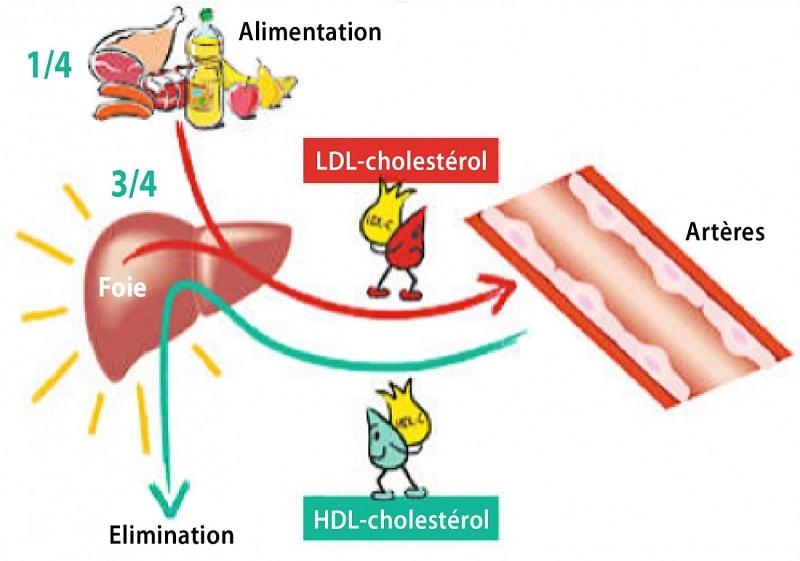 cholesterol hdl ldl
