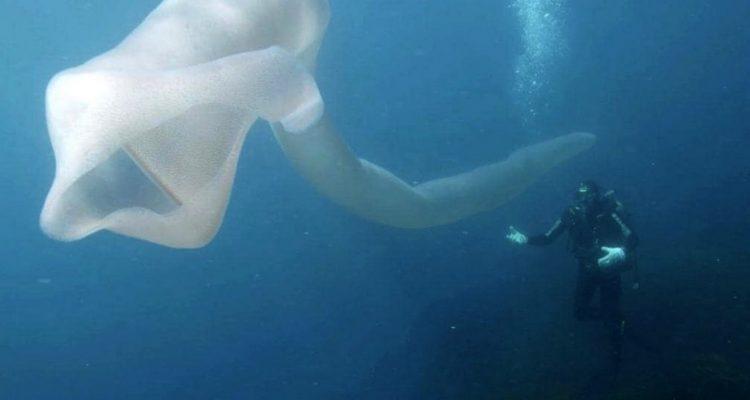 creature sous marine ocean nouvelle zelande plongeur pyrosome