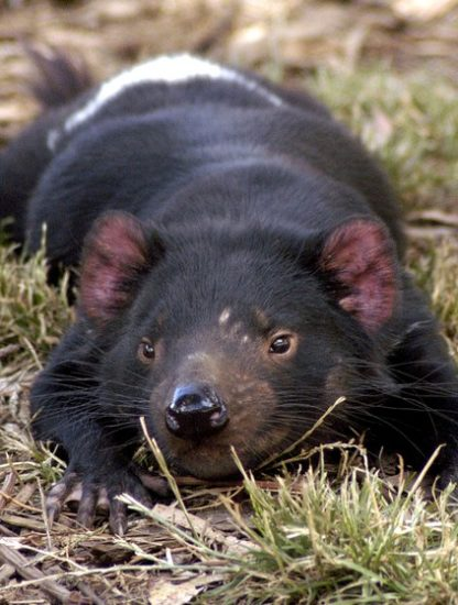 diable tasmanie cancer tumeur regression mutation genetique genome genes