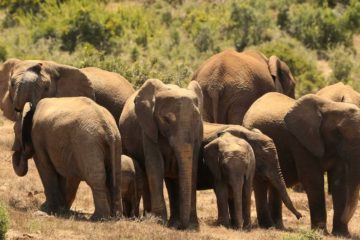 elephants sans defenses braconniers
