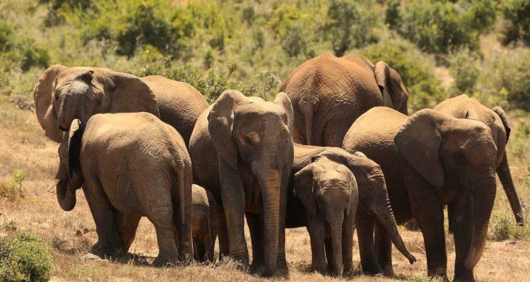 elephants sans defenses braconniers
