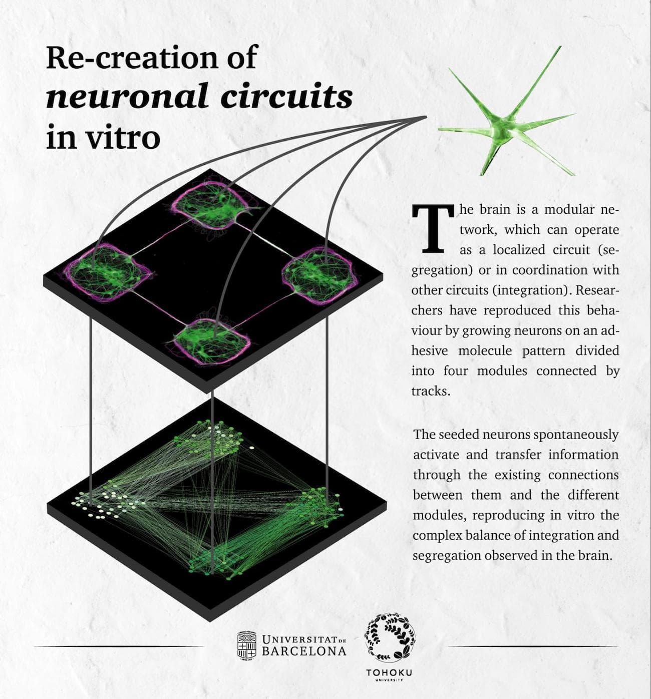 reseau neuronal in vitro