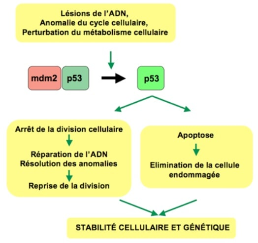 p53 apoptose mort cellulaire