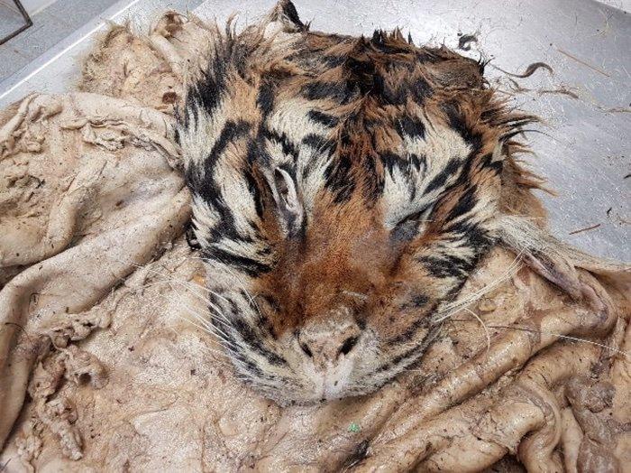 tigre abattoir peau marche noir illegal criminel