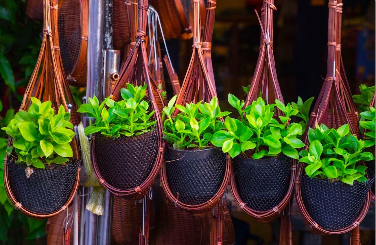 des chercheurs ont modifi g n tiquement une plante afin. Black Bedroom Furniture Sets. Home Design Ideas