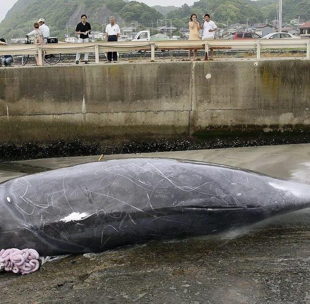 chasse baleine japon