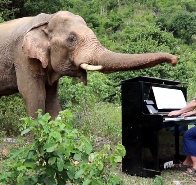 elephant animal animaux faune pianiste piano