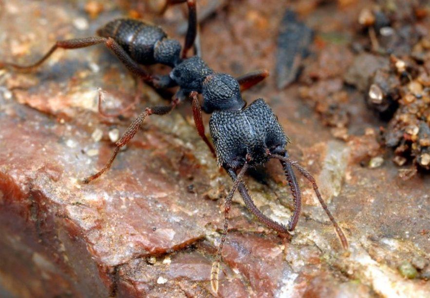 fourmi dracula sang sucer rapide machoire mandibule rapidite piege record insecte animal