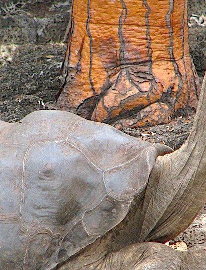 georges le solitaire tortue geante galapagos secrets longevite