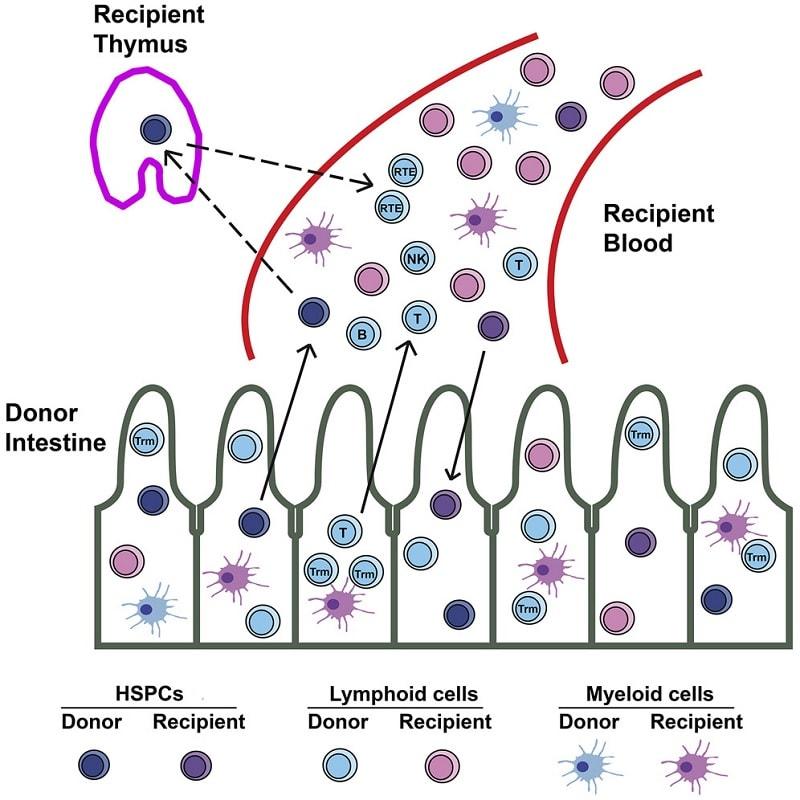 intestin cellules donneur receveur