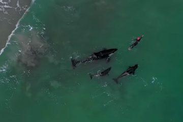 orque nage nouvelle zélande