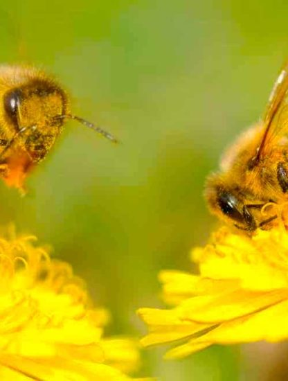 pollinisation insectes vent evolution