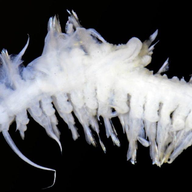 polychete ifremer nodules