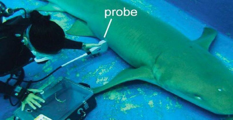 requin embryon bebe cannibale cannibalisme utérus intra-utérin