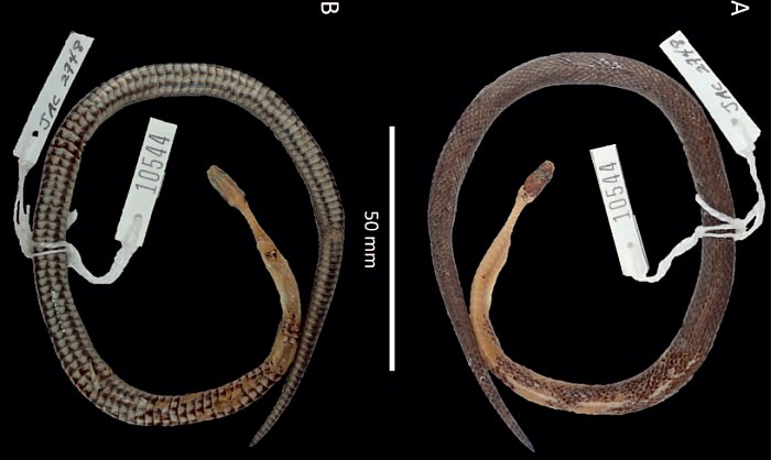 nouvelle espece serpent foret repas venimeux