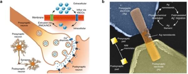 synapse biologique artificielle