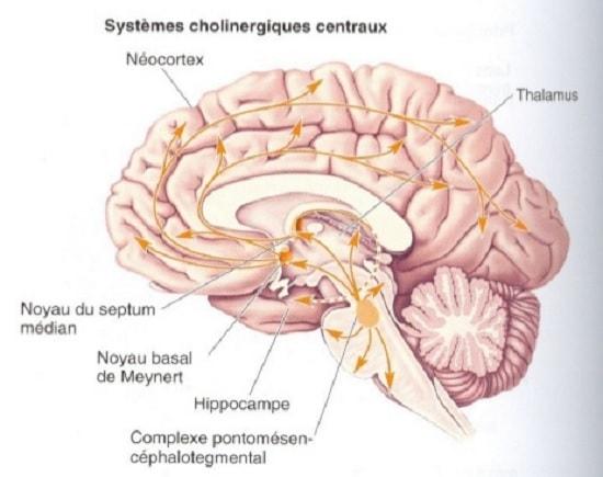 systeme cholinergique cerveau