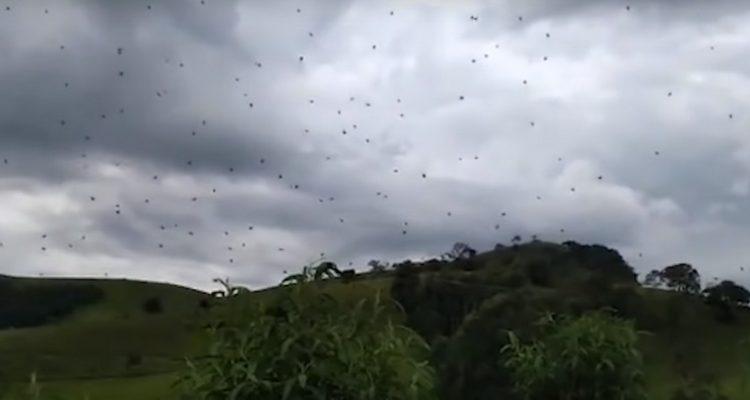 Au Brésil, ces araignées semblent flotter dans les airs
