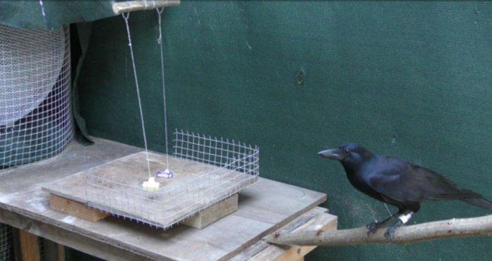 corbeau systeme technique intelligence determiner poids par observation air vent