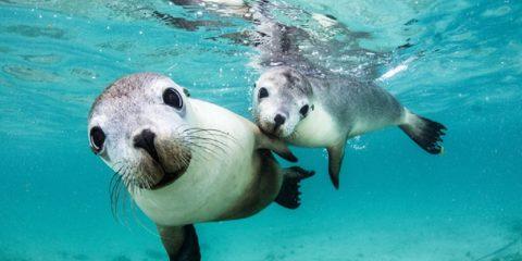 couple phoques australie