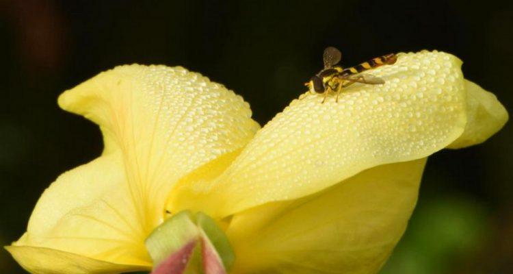 fleur oreille audition vibrations sonores abeilles nectar
