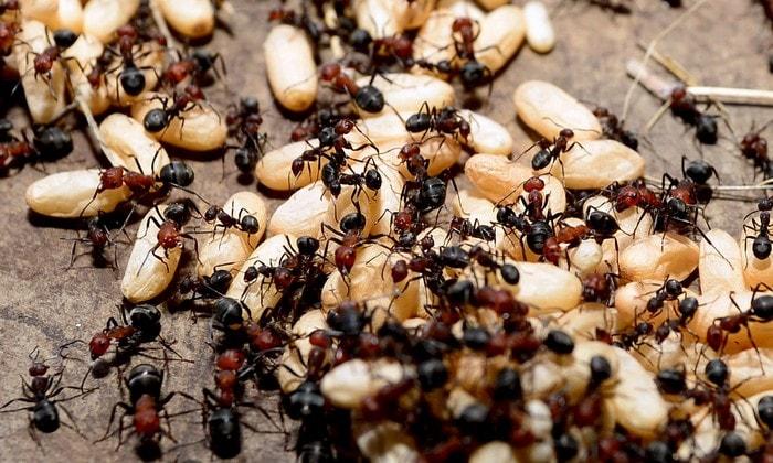 fourmis bois graines