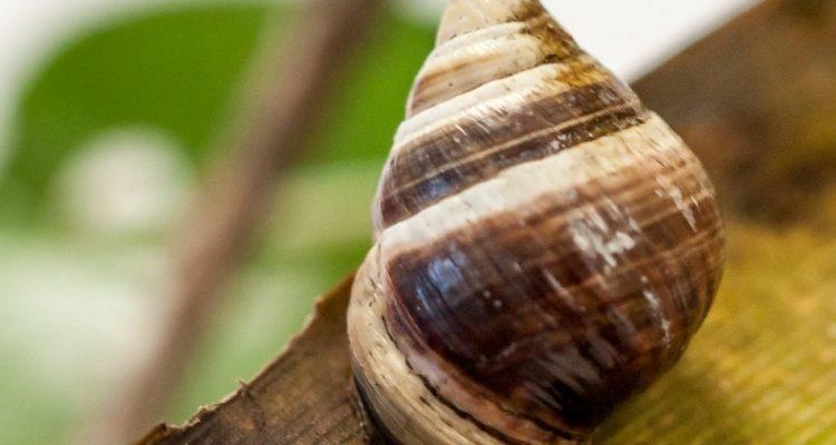 escargot espece eteinte extinction hawaii archipel iles