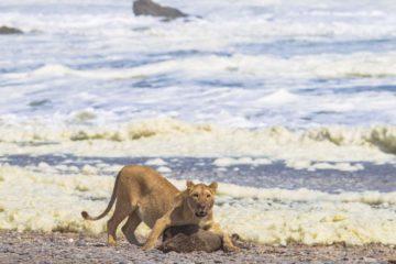 lionne chasse phoque