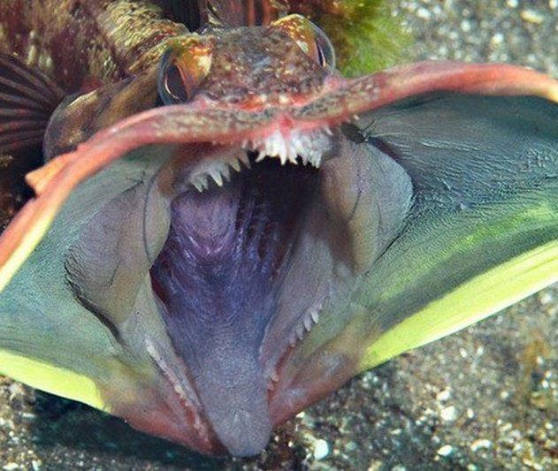 neoclinus blanchardi poisson grande bouche coloree couleur communication
