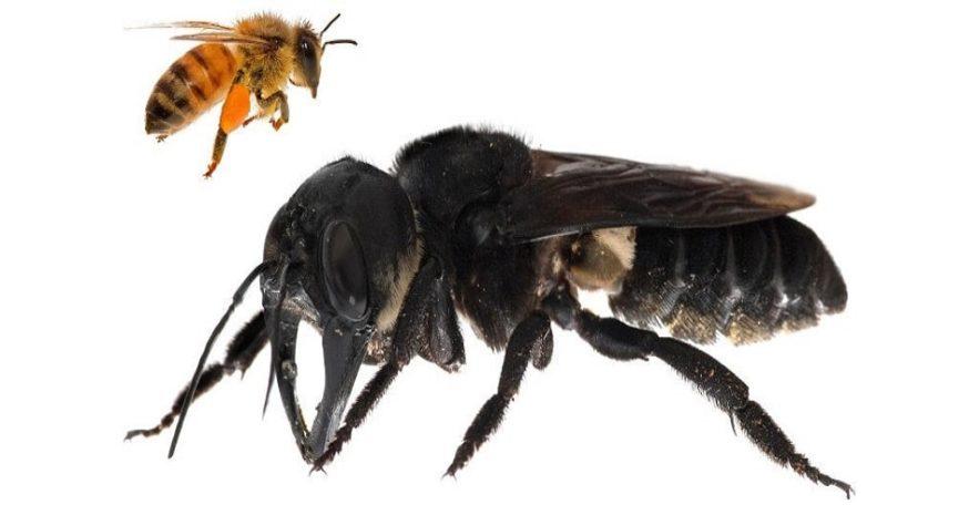 abeille de wallace