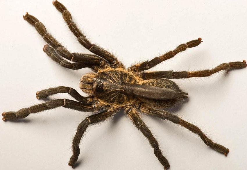 Une nouvelle espèce d'araignée à corne découverte en Afrique (Vidéo)