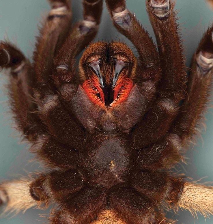 bouche cheliceres araignee