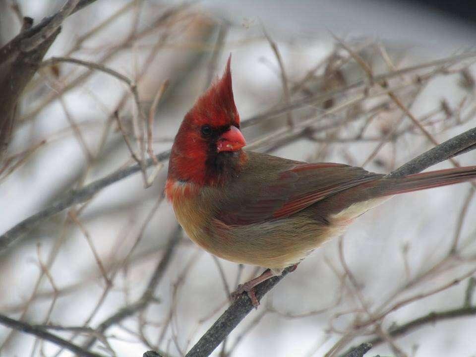 cardinal-rouge-gris