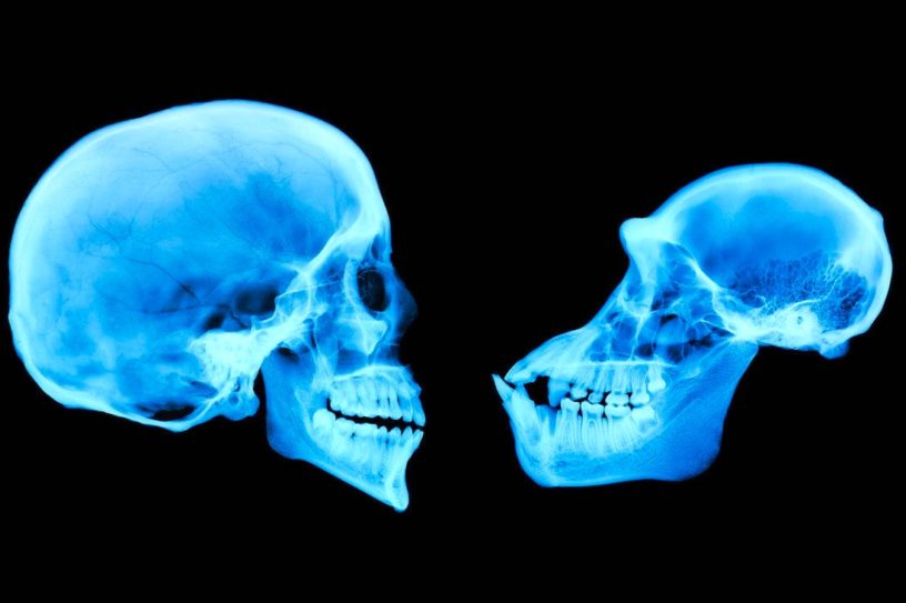 cerveau humain chimpanze