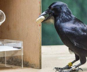 dispositif corbeaux caledoniens intelligence