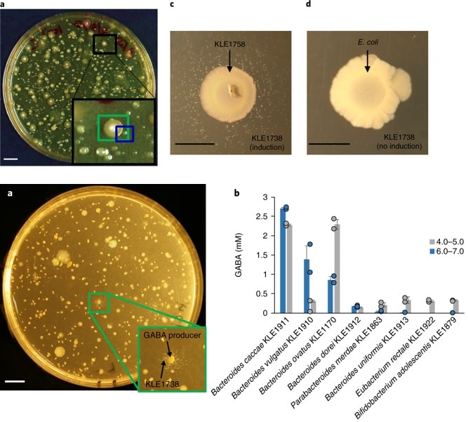 culture bacterie gaba