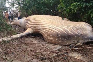 baleine morte echouee foret amazonienne amazone riviere