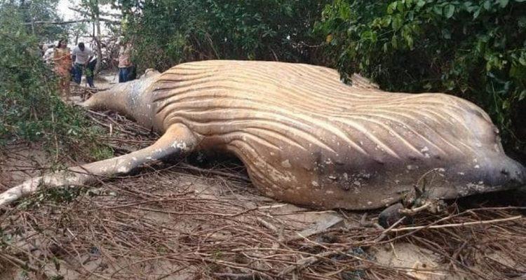 Une baleine à bosse échouée dans une forêt de l'Amazone